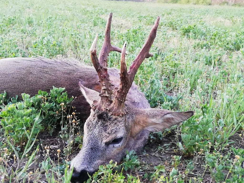 Roe buck hunting in SLOVAKIA - season 2020 -