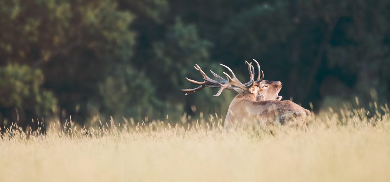 Red deer hunting in SLOVAKIA – season 2020