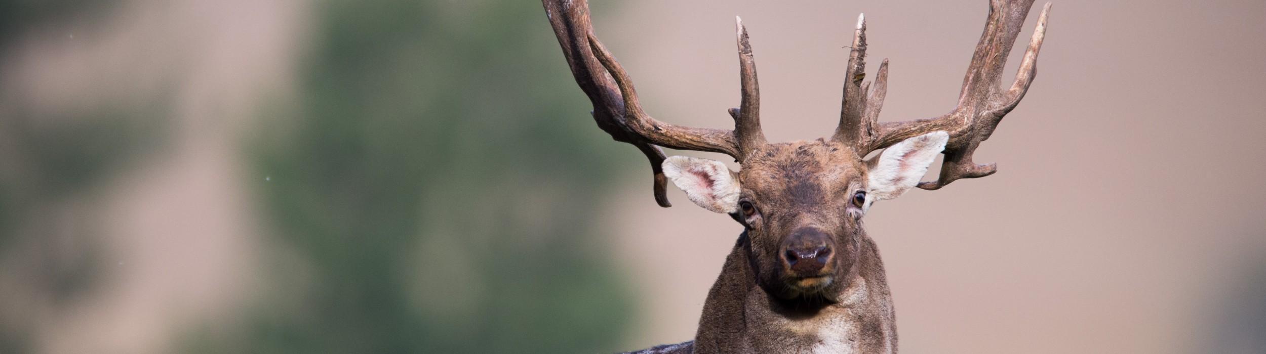 Fallow deer hunting in SLOVAKIA – season 2020
