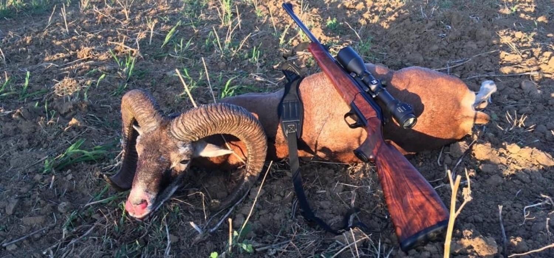 Mouflon hunting in SLOVAKIA – season 2020